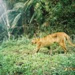 Leão baio