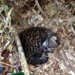 Filhote de gato do mato