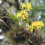 orquídea oncidium sp - RPPN Pedra Branca