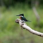 Martim-pescador-pequeno