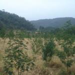 42 Plantio em junho de 2010 (2)