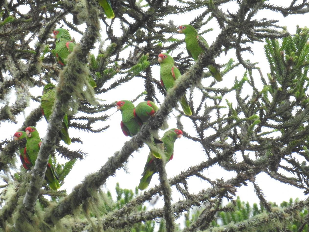 RPPN Papagaios de Altirude - charões nas araucárias.....DSCN1182 (2)