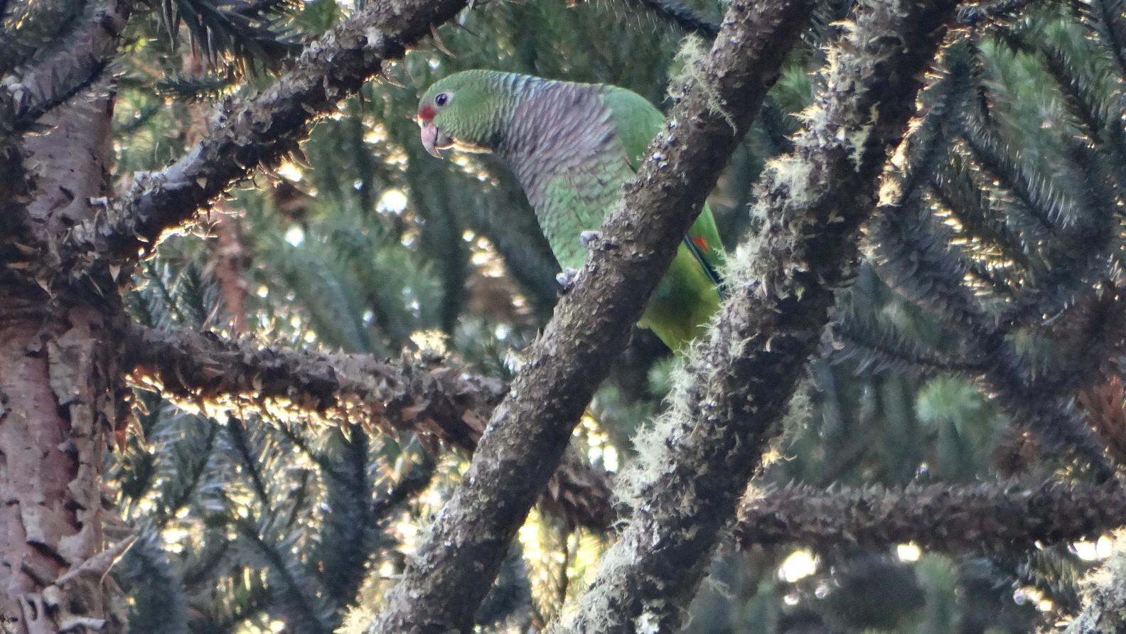 RPPN Papagaios de Altitude - Vanessa Bortoncello